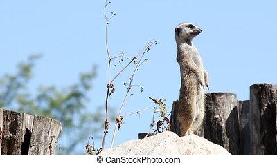 meerkat watching for predators