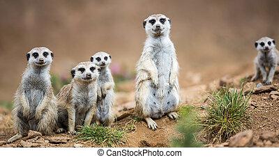meerkats, 站立, 注意, 衛兵