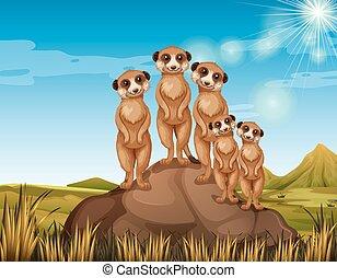 meerkats, debout, rocher