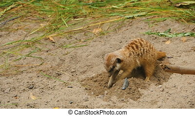 Meerkats digging in the sand - A close up of a meerkat...