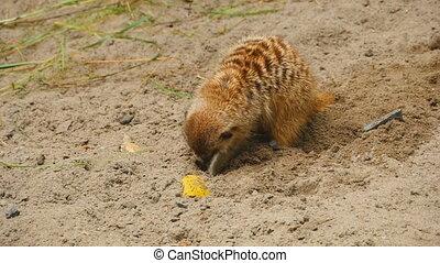 Meerkats digging in the sand - A close up of a meerkat...