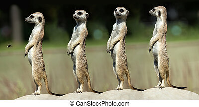 Four meerkats standing on the stone