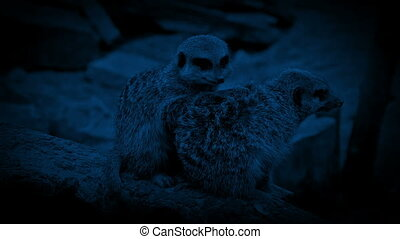 Couple of meerkats close together in the dark