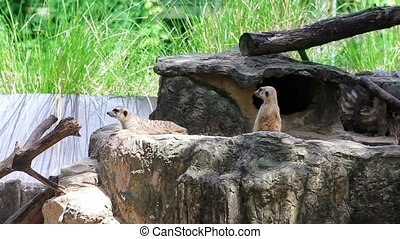 Meerkats in nature