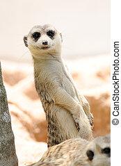 Meerkats in public zoo, action.