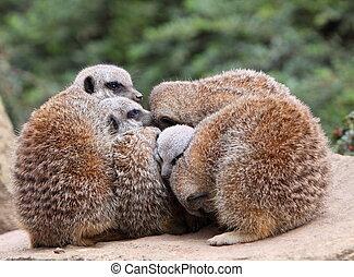meerkats,