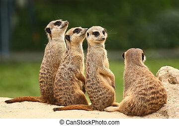 meerkats, reizend, gruppe