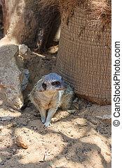 Meerkats sitting afternoon on sand under the sun - Meerkats...