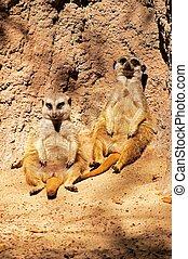 Meerkats (Suricata Suricatta) sitting back against a rock.