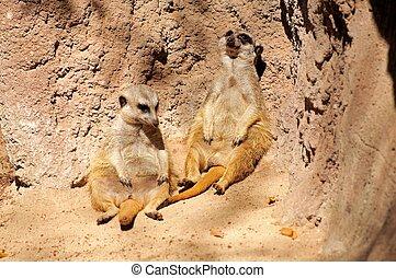 Meerkats sitting against a rock.