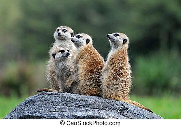 meerkats, standing, roccia
