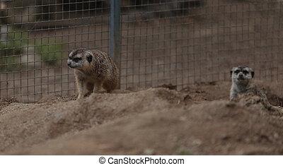 Meerkats, Suricata suricatta, are secretive and cautious
