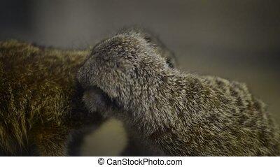 Meerkats - Two little meerkats grooming each other