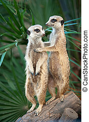 Two meerkats or suricates standing watching out