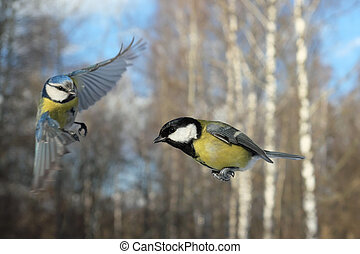 Meeting of Flying Blue Tit and Great Tit