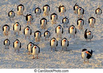 A flock of black skimmer terns standing on a sandy beach.