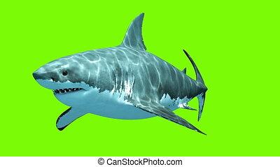 megalodon, grand blanc, vert, requin