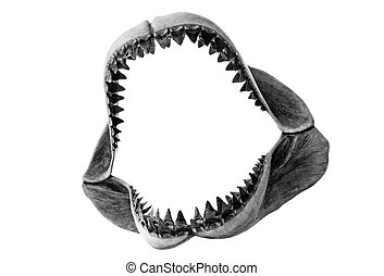 A set of fossilized Megalodon jaws isolated on white.