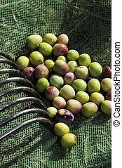megfog, bitófák, termés, zöld, gyűjtés, olajbogyó