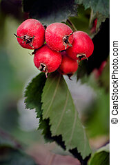 meidoorn, rijp, -, arnold, fruit, rood