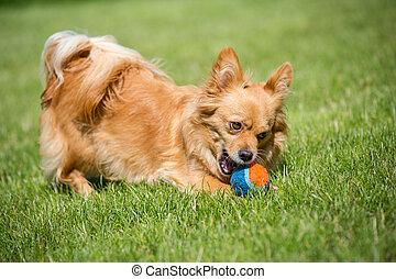 Meine Beute - Kleiner brauner Hund spielt mit einem Ball in...