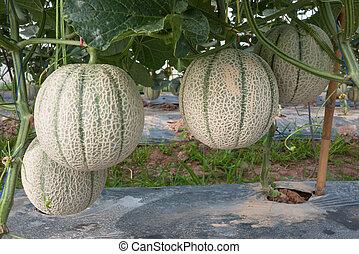 melão, japoneses