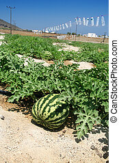 melón, campo