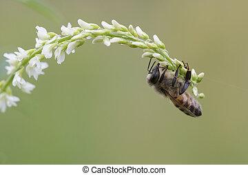 mel, mellifera, abelha, ocidental, apis