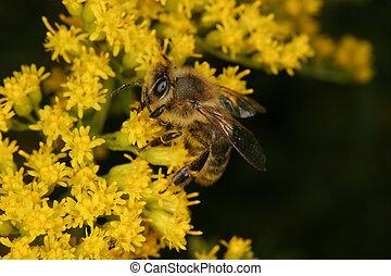 mel, mellifera), ocidental, (apis, abelha