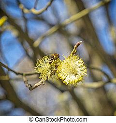 mel, néctar, florescendo, abelha, collects, árvore