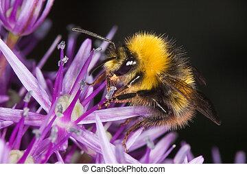 mel, olhar, allium, flor, abelha