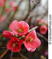 melagrana, fiori