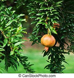 melagrana, frutta, su, albero