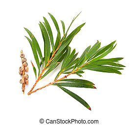 melaleluca, feuilles, brindilles, seeds.