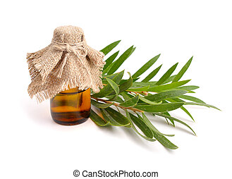 Melaleuca essential oil in the pharmaceutical bottle with twigs. Isolated on white background.