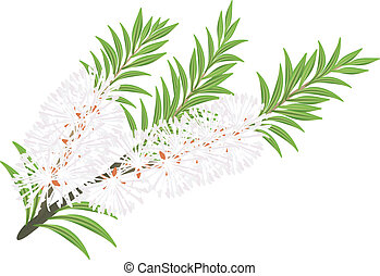 Melaleuca - tea tree. Vector illustration on white...