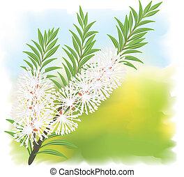 Melaleuca - tea tree. Vector illustration on fullcolor...