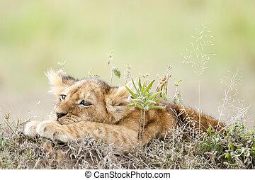 melancholy - African lion\'s whelp (Panthera Leo) in Masai...