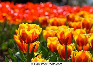 meleg, szín, tulipán terep