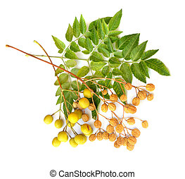 Melia azedarach, commonly names: chinaberry tree, Pride of...