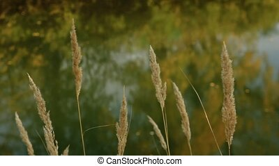 Melica ciliata swings by the wind against the background of the autumn river