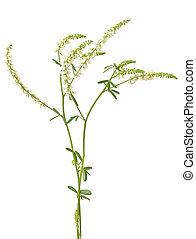 Melilotus albus flower isolated on white background