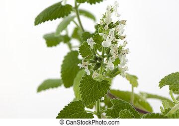 Melissa officinalis - Blooming melissa officinalis close-up ...