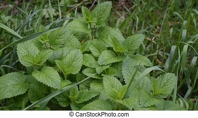 Melissa officinalis. Green lemon balm with grass blades filling the frame