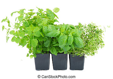 melissa, thyme and basil in a pot