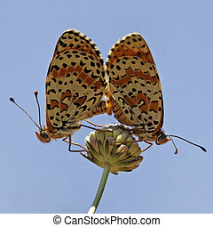 Melitaea didyma, Spotted Fritillary or Red-band Fritillary (Copula) in Southern France, Europe