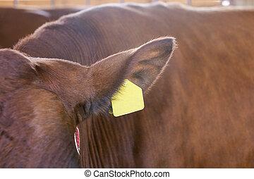 melk, verticaal, meat., oor, koe, dier, rundvlees, kine., ...