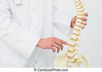 mellemst sektion, i, en, mandlig doktor, hos, skelet, model