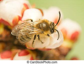 mellifera, abeille, -, apis