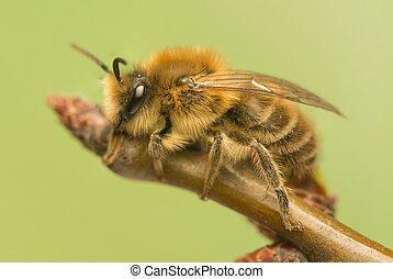 mellifera, abelha, -, apis